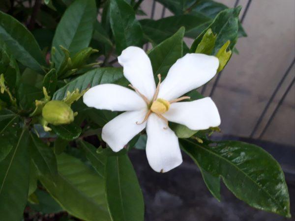 プランター鉢植え栽培のクチナシ、ジャカランダ、紫陽花