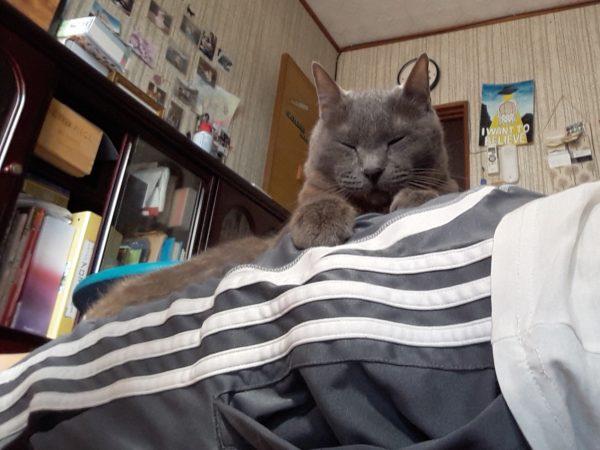 お尻の上で寛ぐ灰色猫ししゃも
