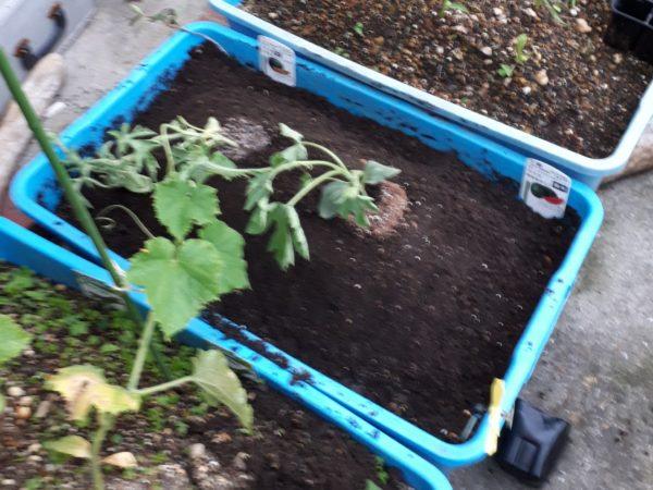 衣装ケースに土詰めたプランターで野菜栽培、ミニトマト、キュウリ、トウモロコシ、スイカ、ミニニンジン