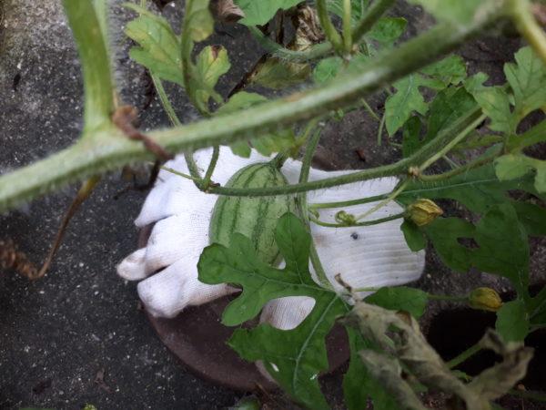 プランター栽培のお野菜、夏の収穫祭、ミニトマト、キュウリ、スイカ、トウモロコシ