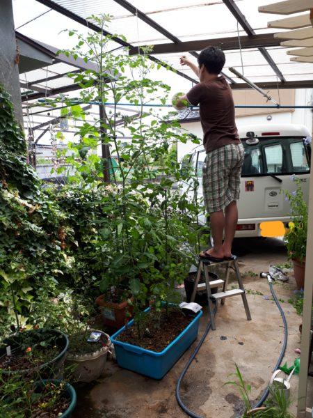 プランター栽培のお野菜、夏の収穫祭、ミニトマト、キュウリ、トウモロコシ