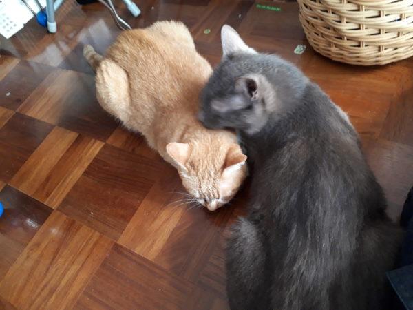 11歳になった黄色猫きなこ。お誕生日。結婚記念日に猫と家族写真。