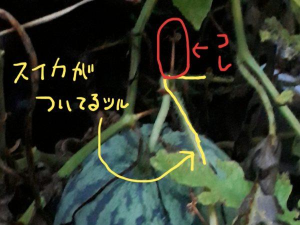 家庭菜園プランター栽培のスイカ、ちゃんと育って収穫もできて美味しかった記録
