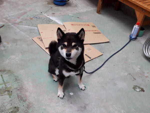 親戚の飼い犬黒柴犬の大ちゃんをお泊まりでお預かり