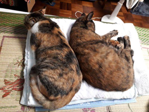 縞三毛猫なめことサビ猫しめじ、くっついてお昼寝
