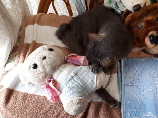 猫エイズ治療8ヶ月経過。体重が戻ってきた灰色猫ししゃも(*ФωФ)b