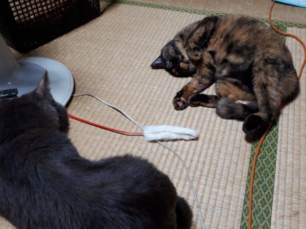 遊んで欲しいアピールするサビ猫しめじ