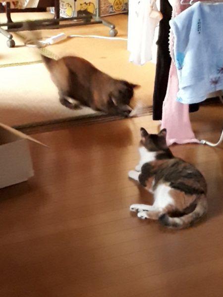 ダイエット運動中のサビ猫しめじ