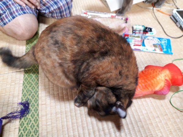 アロワナのリアルなけりぐるみをサビ猫しめじにプレゼント